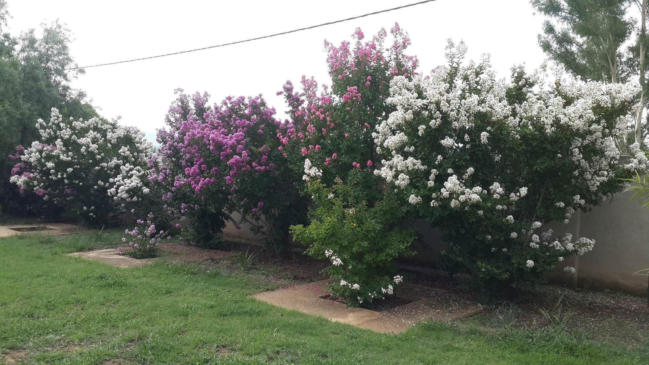 My Pride Of India Trees In Full Bloom Gardening Garden Diy Home