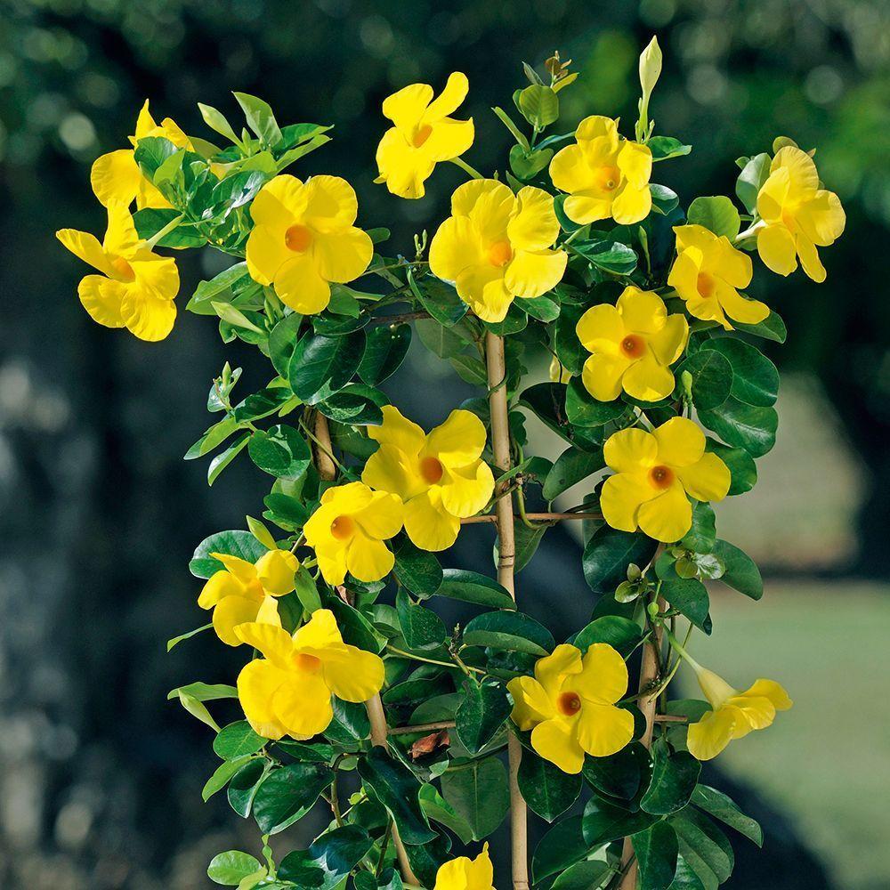 Citrine Dipladenia Mandevilla Sanderi Compact Climbing Mass Yellow