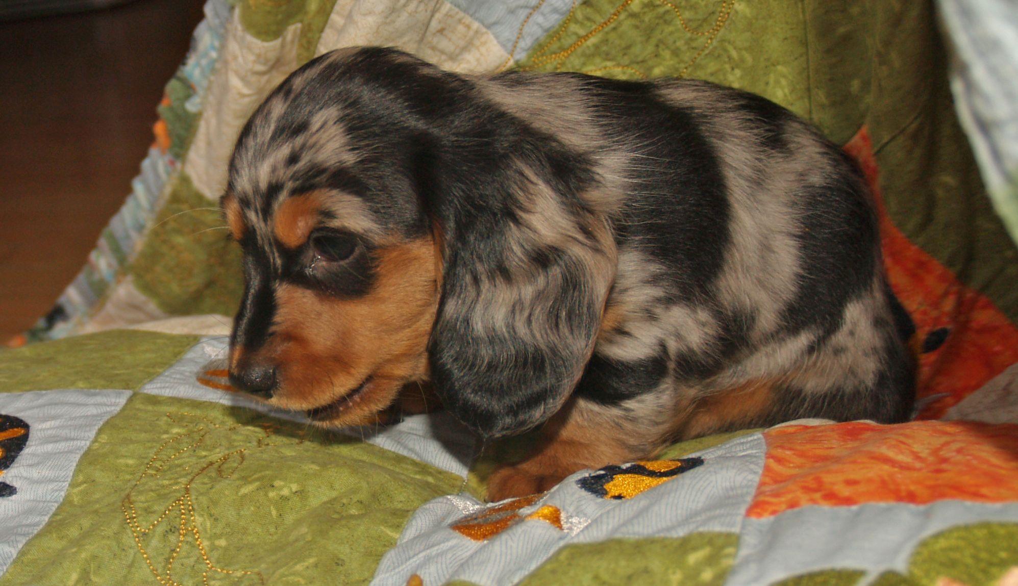 Darling - Long Haired Black/Tan dapple mini dachshund | My ...  Darling - Long ...