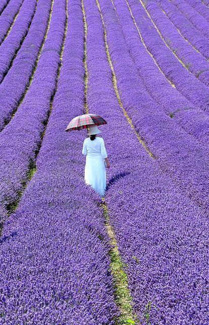 French lavander fields | http://globalstudyexpo.com | Focusing on changing education for a changing world | 3 October 2013