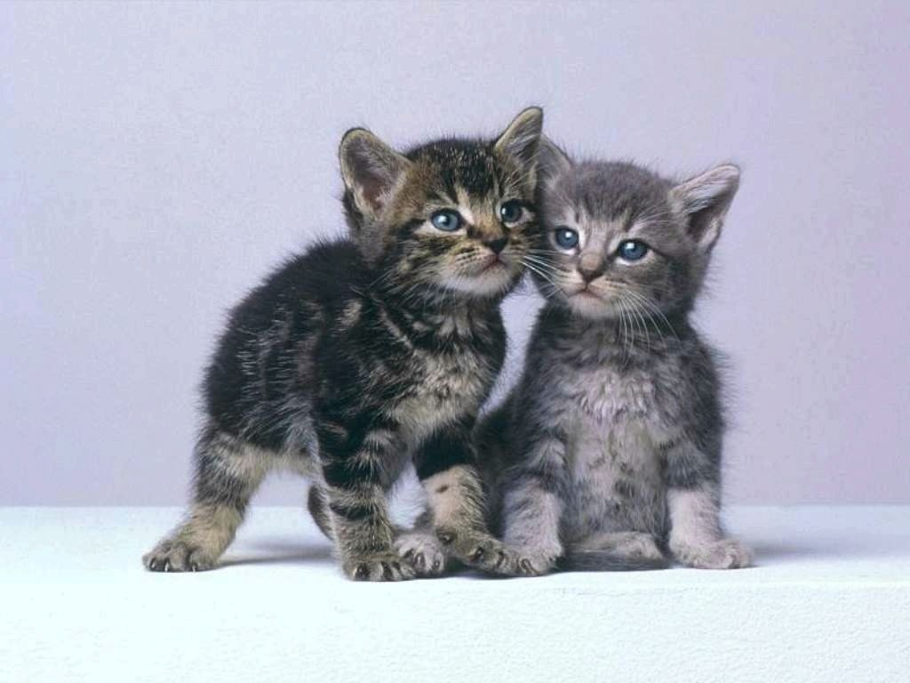 chaton gris hello chaton chats et chatons chats communaut catgorie animaux trop mignons chat publi chatons amoureux chat recherche