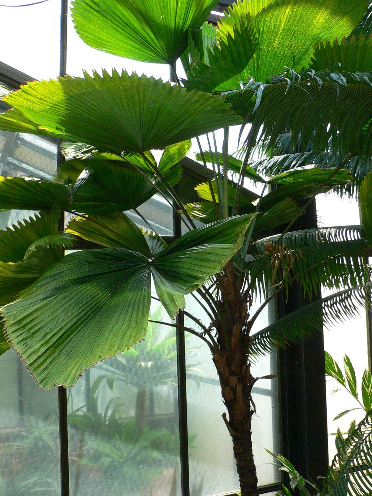 Ruffled Fan Palm Or Vanuatu Fan Palm Licuala Grandis