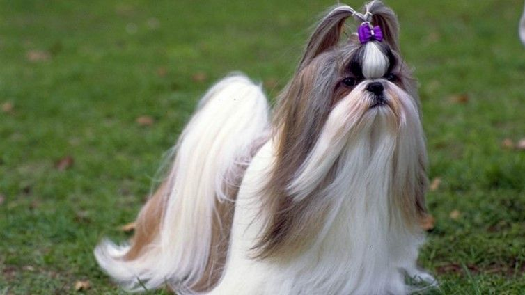 30 Small Hypoallergenic Dogs That Don T Shed Shih Tzu Dog