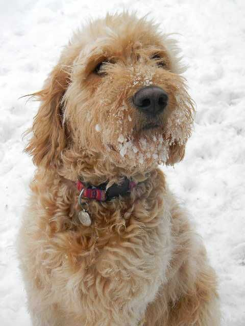 Beautiful f1b goldendoodle puppies nonshedding great