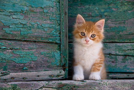 CAT 03 01 - Orange Tabby And White Greek Island Kitten Standing By Green  Wooden Shutter - Kimballstock