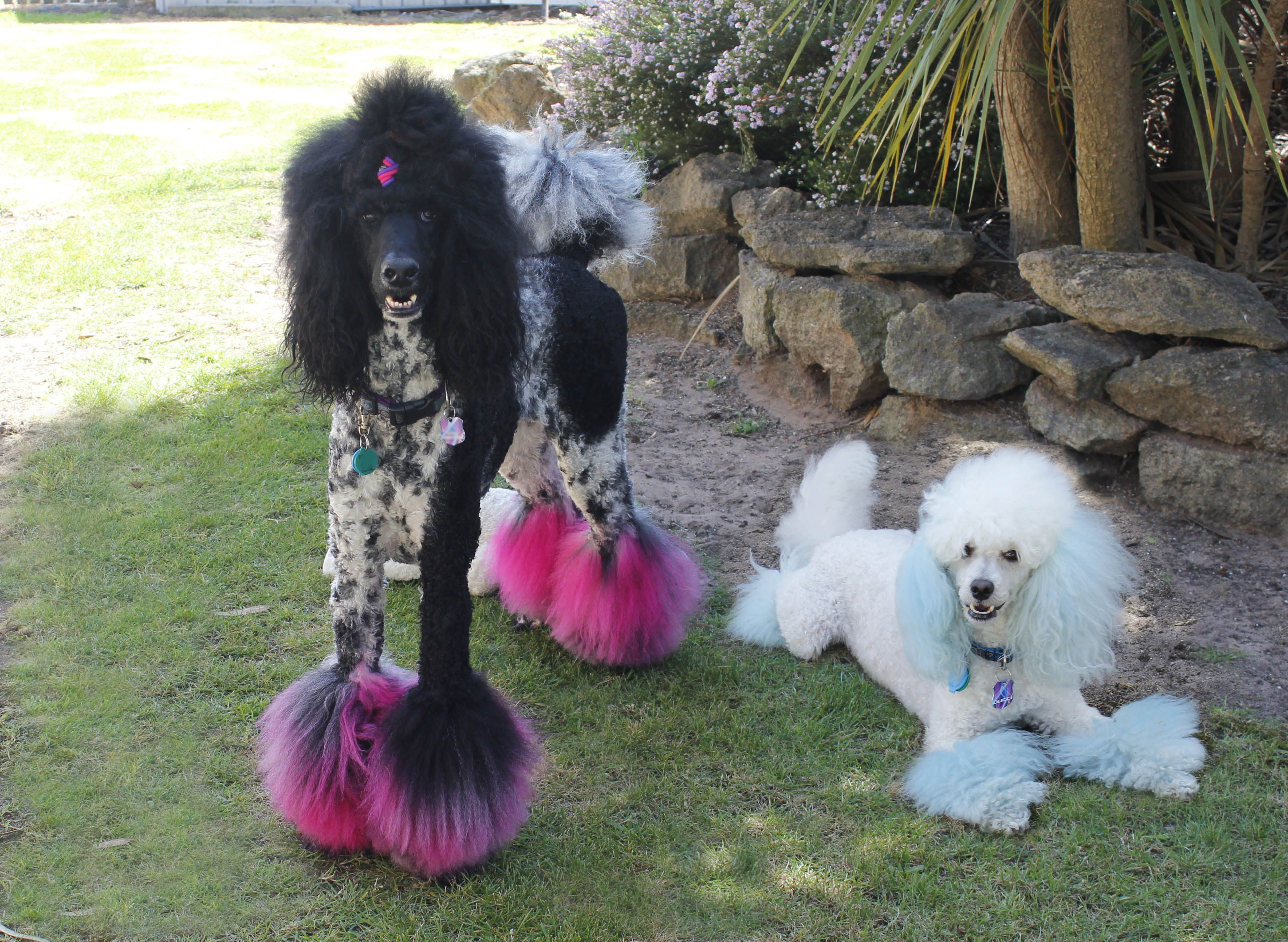 Dolce And Gucci Dolce Is A Standard Parti Poodle And Gucci Is A