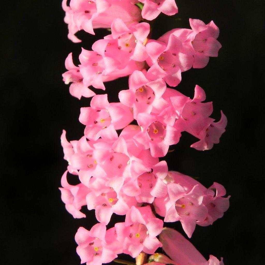 Common Heath Australheide Blte Pink Epacris Impressa