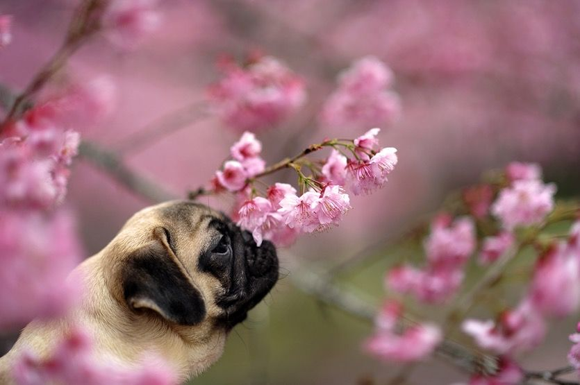 The Human Power Of Smell Is Just As Good As A Dog S Pugs Pugs