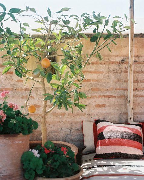 Garden - An orange tree on a sunny balcony