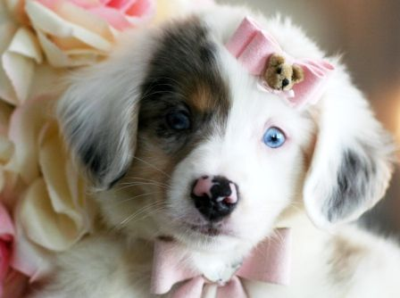 Toy Australian Shepherd Cute Cats And Dogs Cute Animals Morkie
