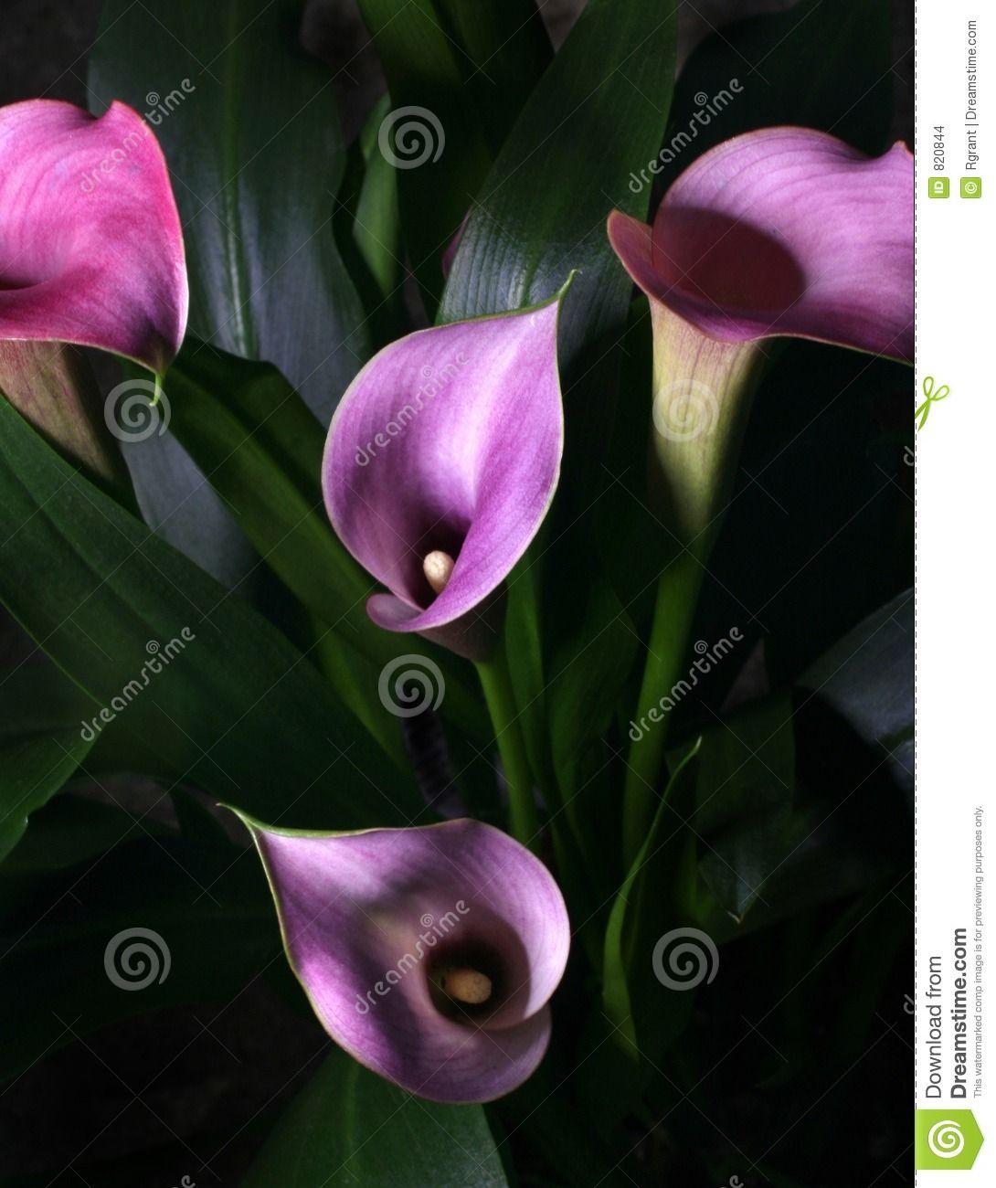 Black Lillies Flowers