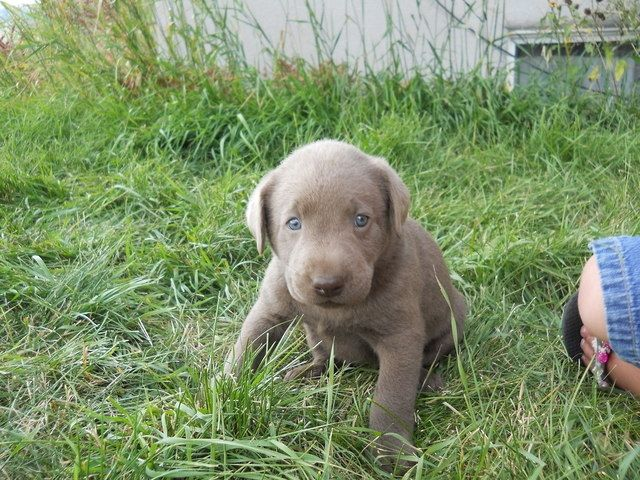 Akc Dogs Akc Silver Lab Puppies For Sale In Bennington Idaho Classifieds Ksl Silver Lab Puppies Lab Puppies Animal Heros