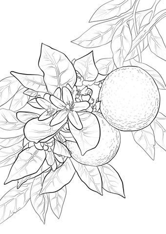 Orange Blossom Coloring Page From Oranges Category Select From