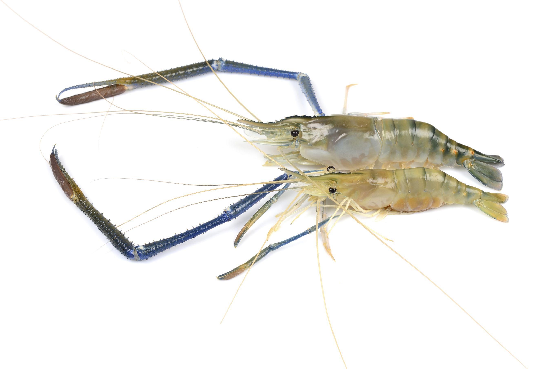 Liveaquaponics.com Freshwater Prawn Macrobrachium ...Freshwater Shrimp For Sale