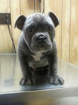 Litter Of 6 Olde English Bulldogge Puppies For Sale In Charleston