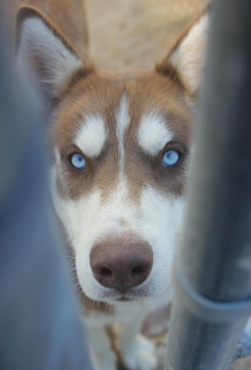 I Found Red Husky On Adopted Woof