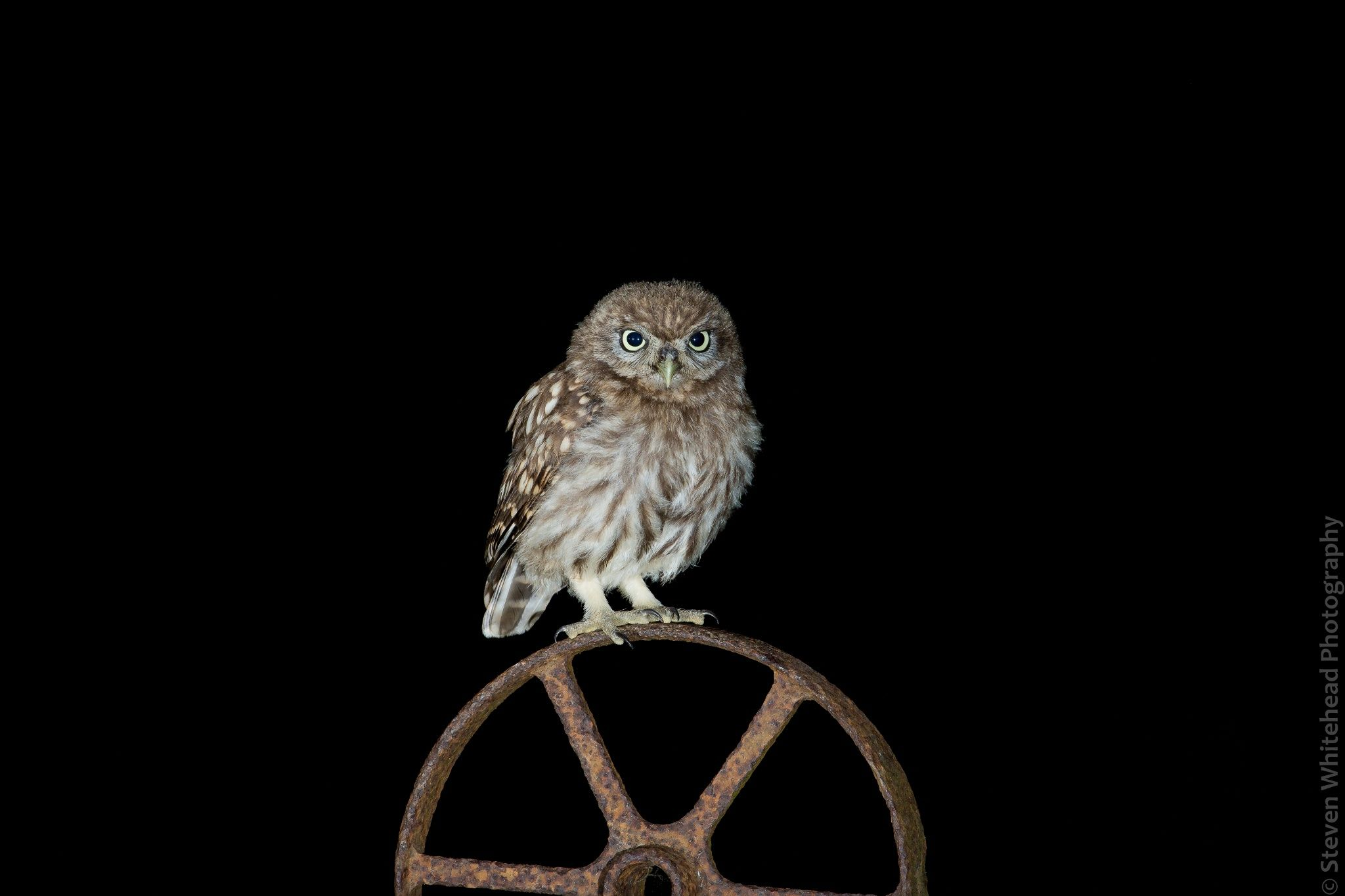 Little Owl At Night By Steven Whitehead On 500px