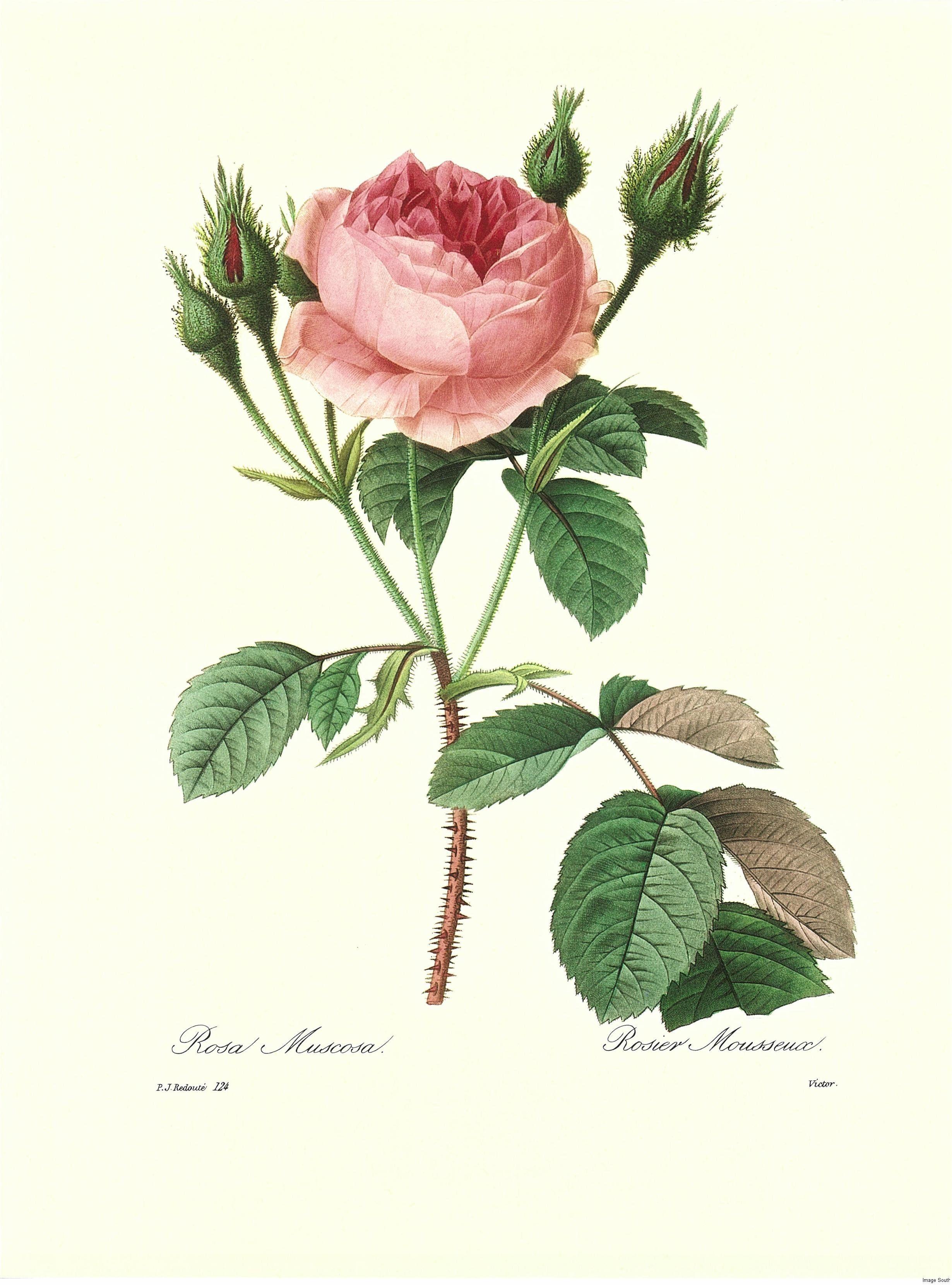 Rose Lithograph botanical print | ART | LITHOGRAPHS | Pinterest ...