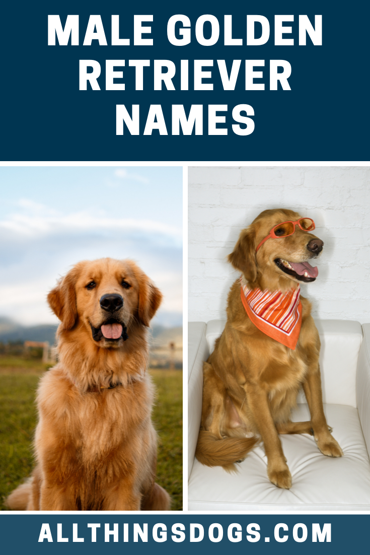 Male Golden Retrievers Make Adorable Pets And They Are A Classic