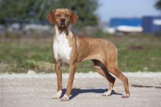 Pointer Pedigree Dog Purebred Dogs Dogs