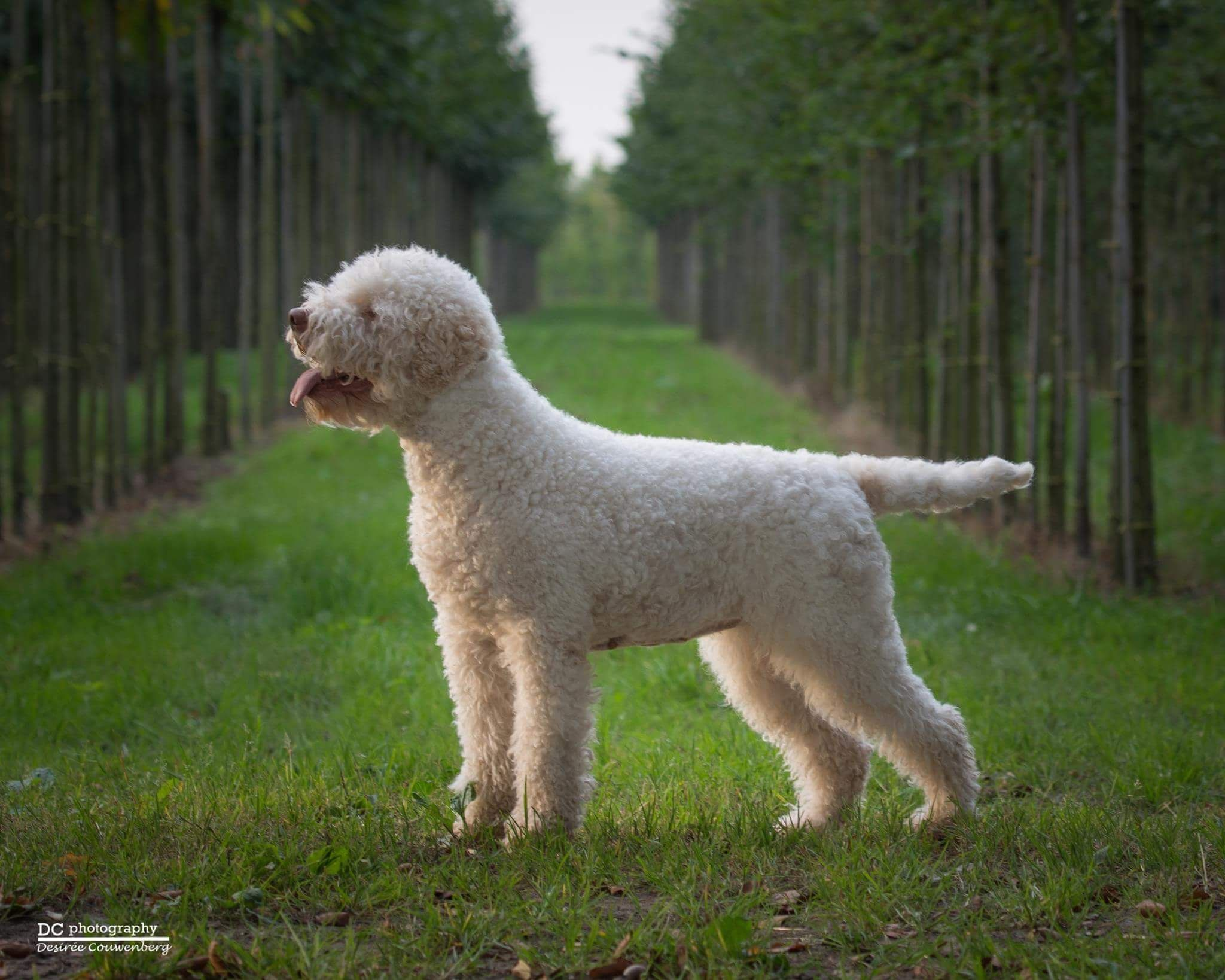 Pin By Brianna Hutchins On Lagotto Dog Photography Lagotto Romagnolo Water Dog