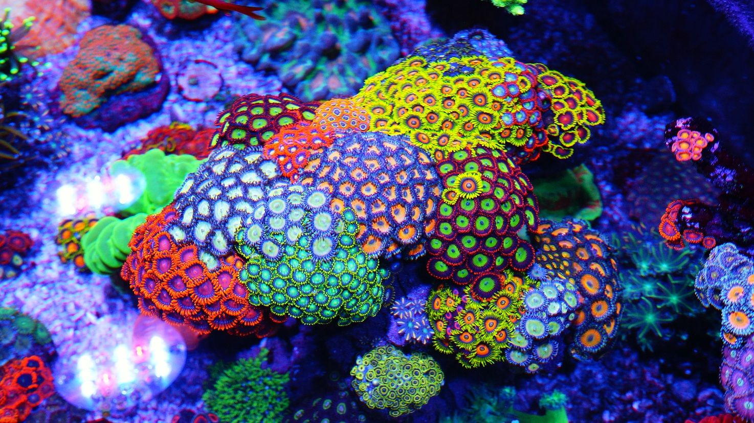 Zoanthid corals corals pinterest google search for Reef tank fish