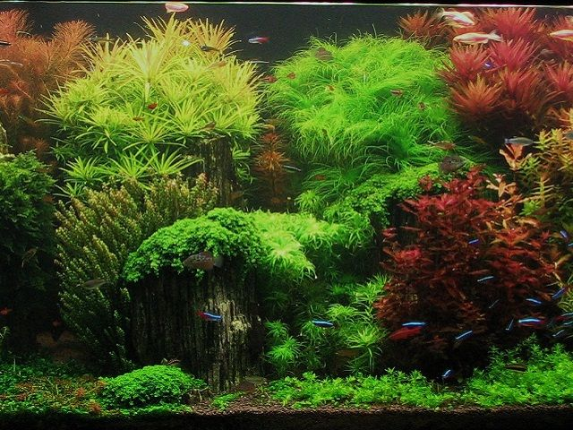 Java Moss   Beauty Of Aquatic Plants   Http://fishietank.com/