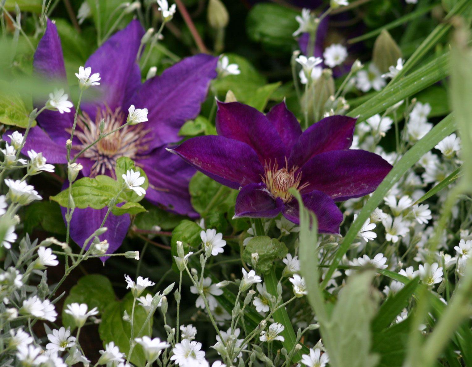 Snow-in-Summer (Cerastium tomentosum) and purple clematis