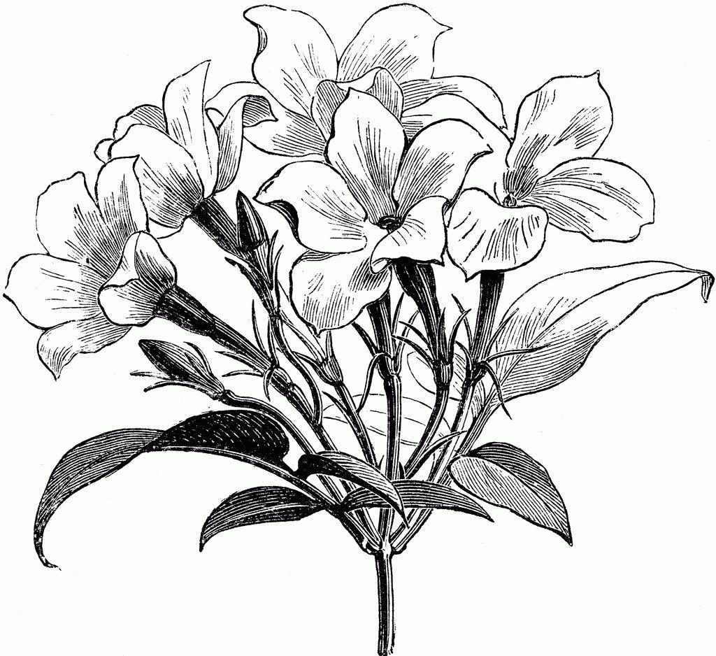 Sampaguita Flower Drawing Jasmine Clipart Jasmine Plant In