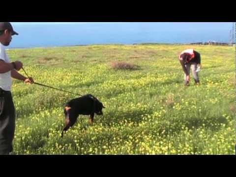 How To Train Schutzhund Tracking In A Logical And Easier Method