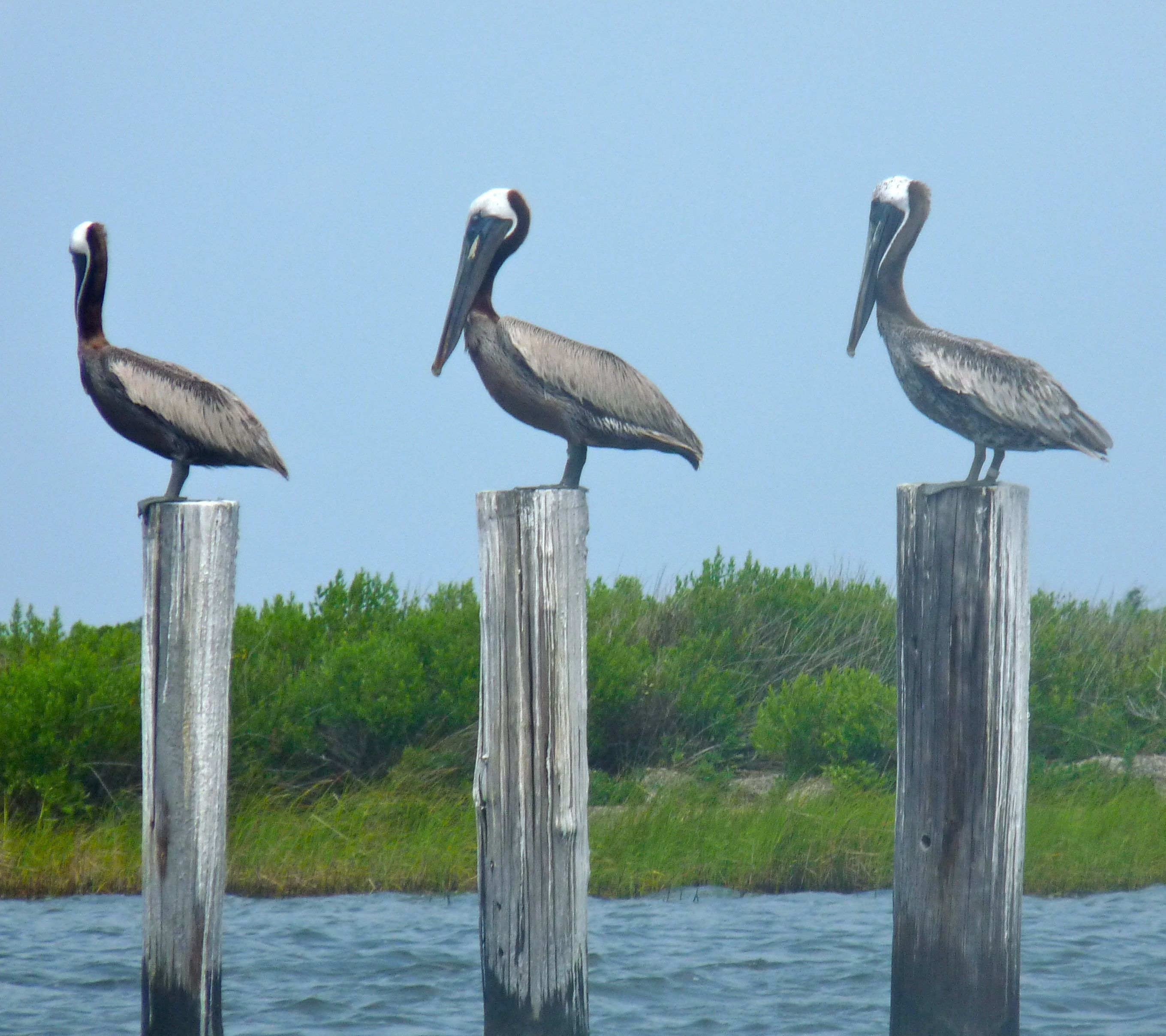Pelicans are an everyday sight that we never get tired of in Carolina Beach! Stay with us at the Beacon House Inn and see them for yourself!