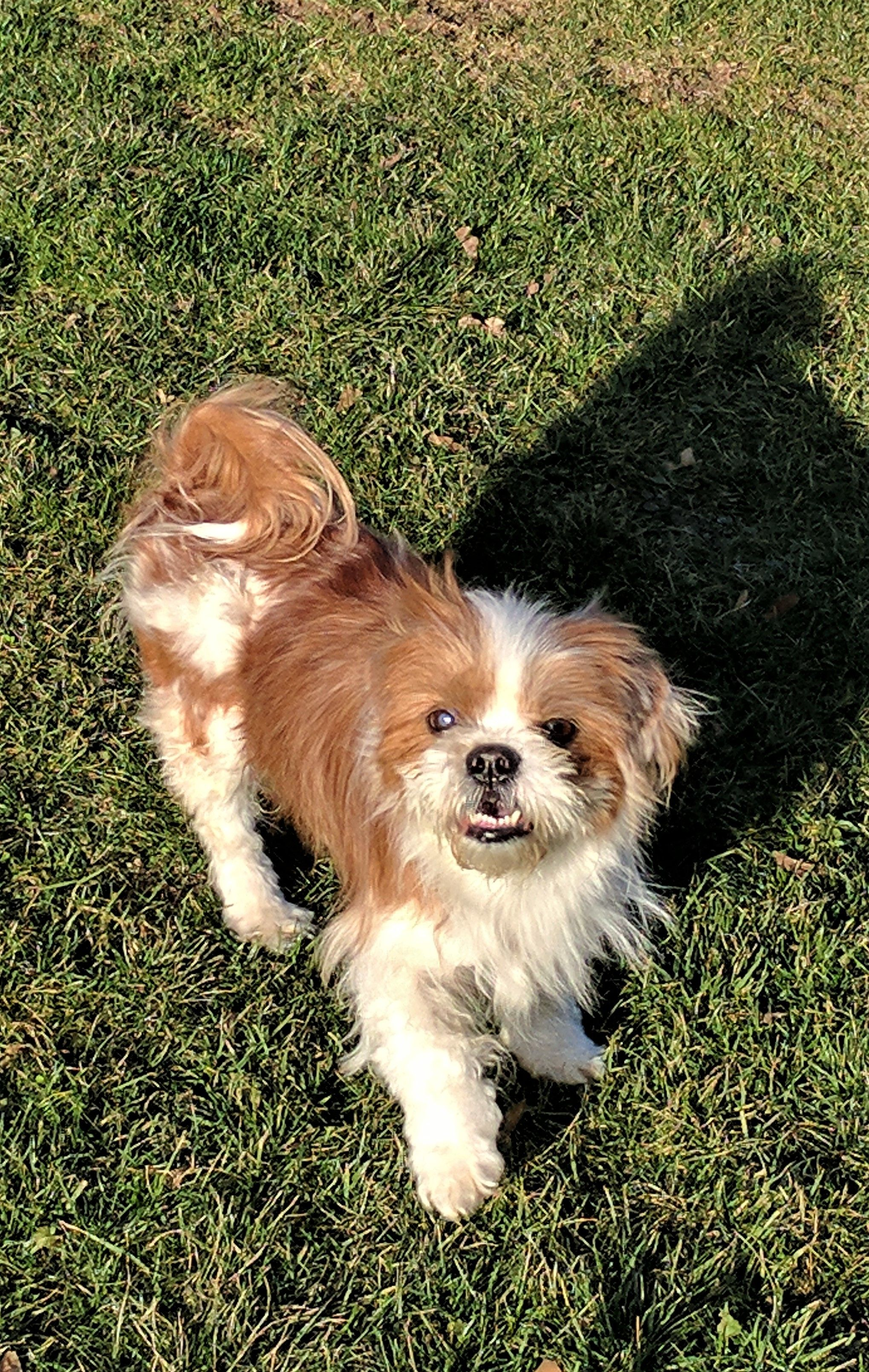Adopt charlie on dogs shih tzu mix shelter dogs