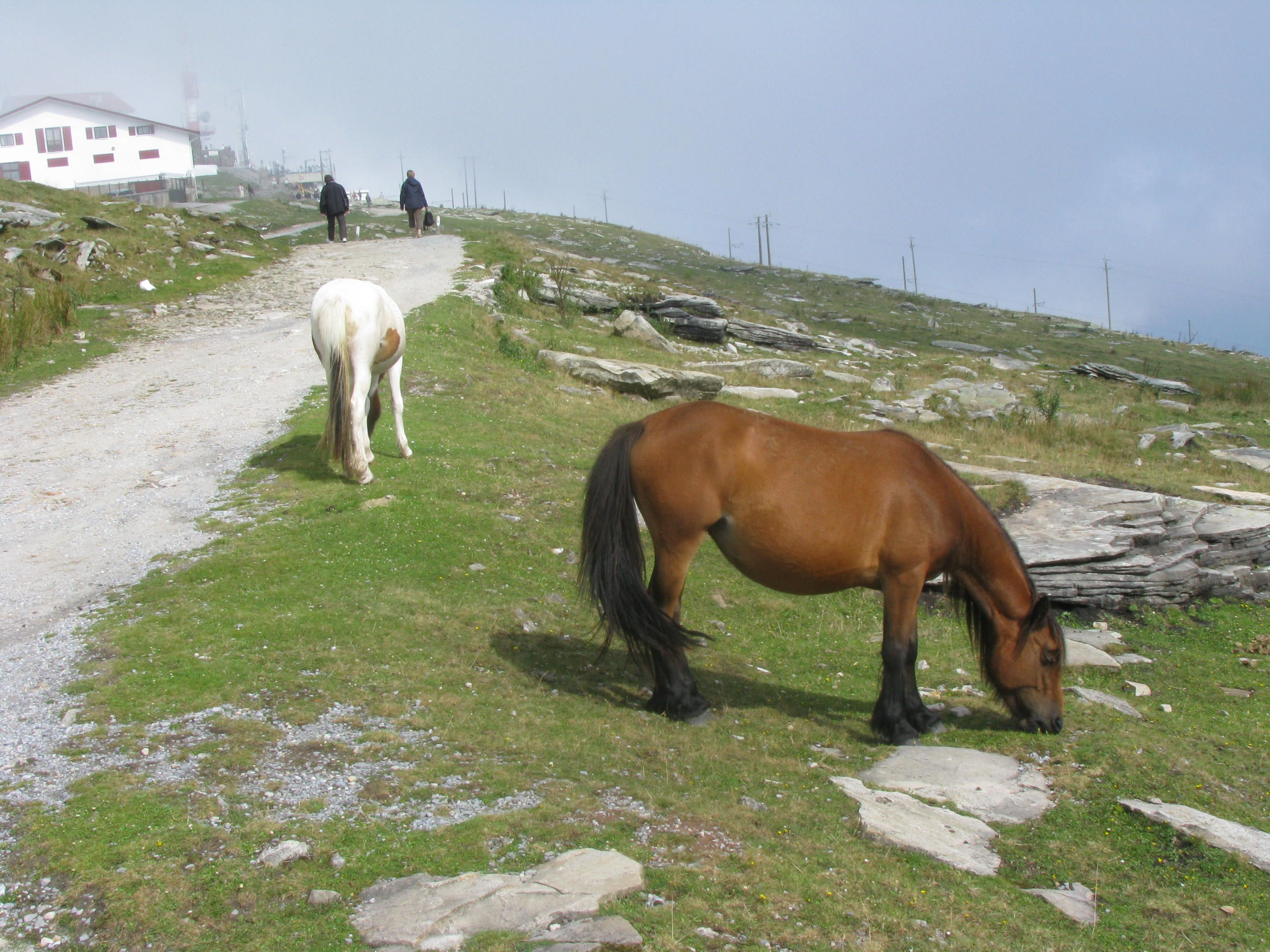Pottok ponies on La Rhune - these are specific to the Basque region