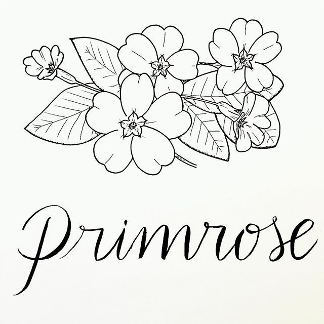 handdrawn drawing florals botanical primrose draws pinterest primroses drawings and anna. Black Bedroom Furniture Sets. Home Design Ideas
