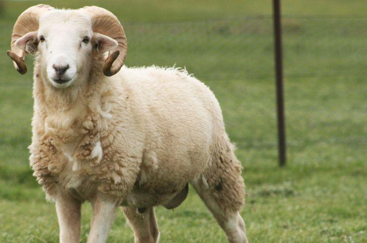 Sheep Husbandry Calender Sheep Farmyard Animal Animals