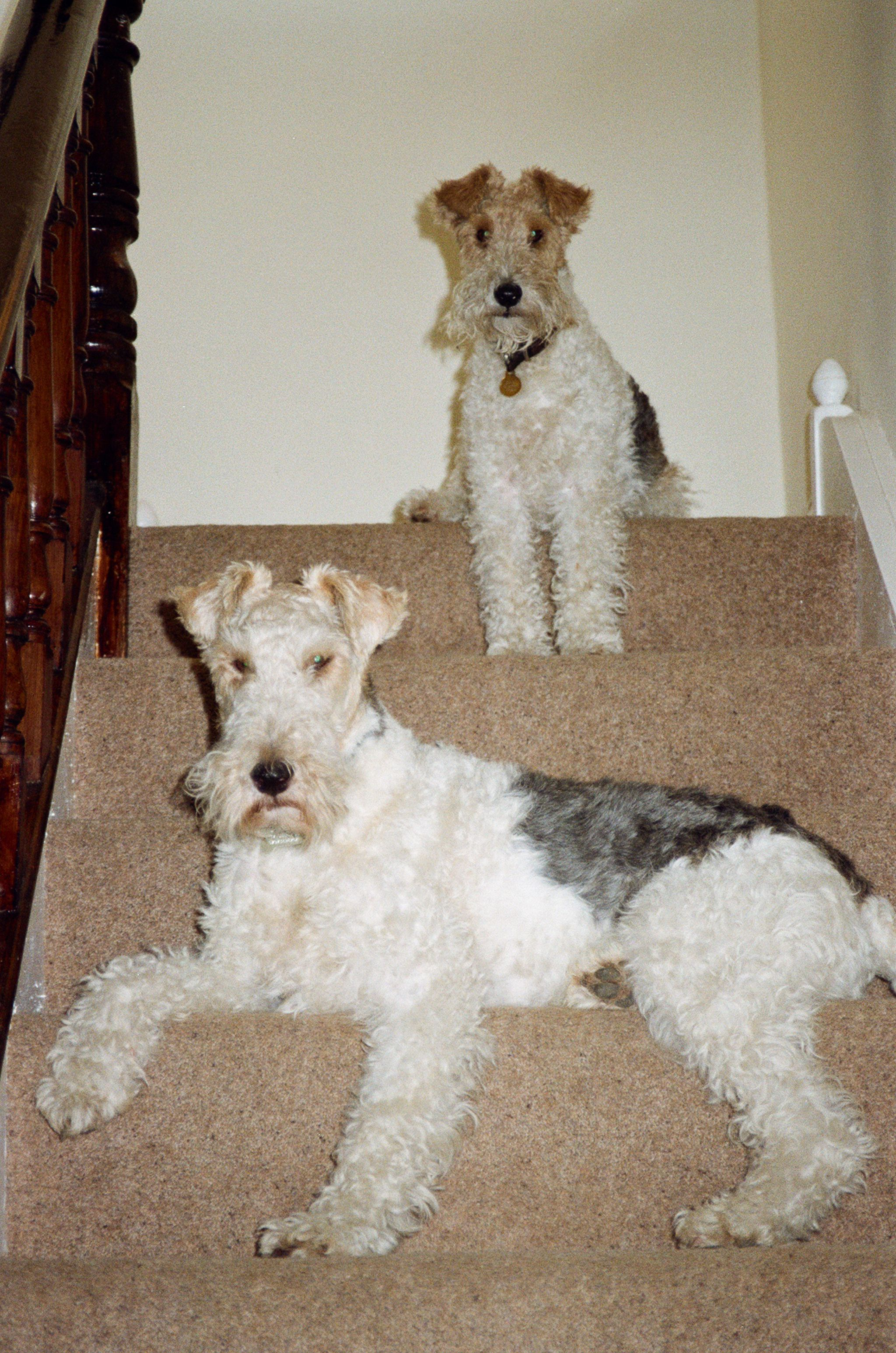 Walkies. NOW. Wire fox terrier, Pet fox, Smooth fox terriers
