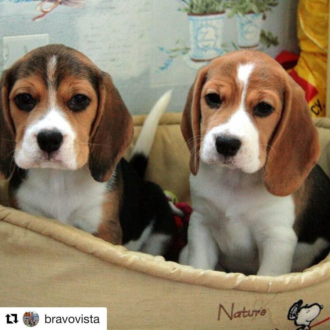 Beagle Beagles Minha Paixao Beagle Puppy Beagle Dogs Puppies