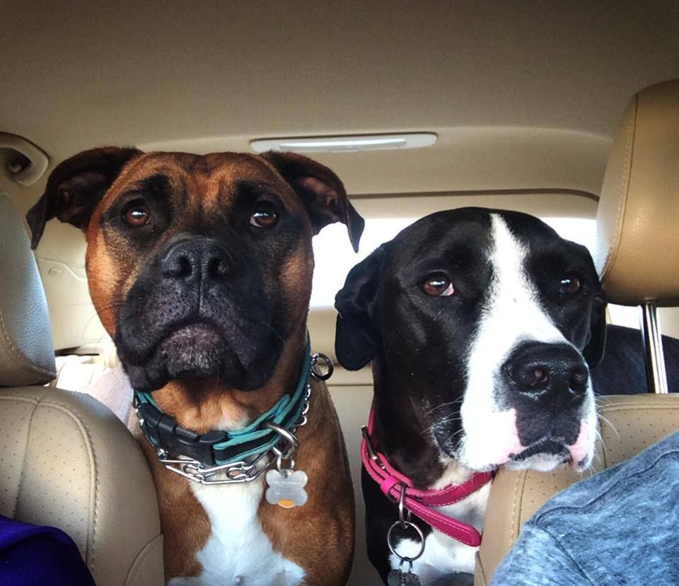 Adopted 9.1.14! Reese, our boxer foster FPOPets in