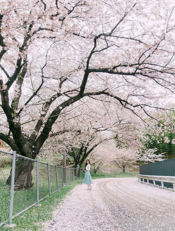 7 Best Cherry Blossom Photoshoot Spots In Kyoto Nara Japan Chymo More Photography Cherry Blossom Cherry Blossom Pictures Photoshoot
