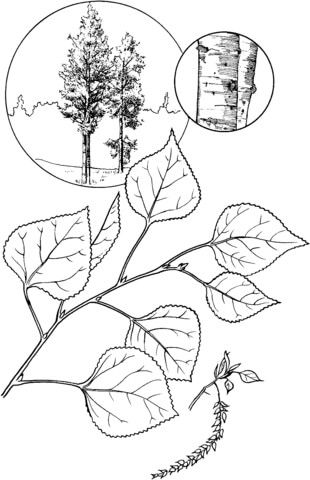 Quaking Aspen Tree Coloring Page From Aspens Category Select From