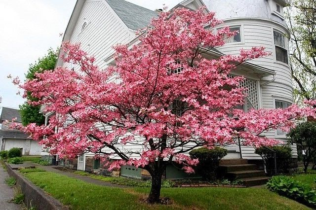 Dwarf Pink Flowering Dogwood Tree Dogwood Trees Flowering Trees Shade Garden Plants