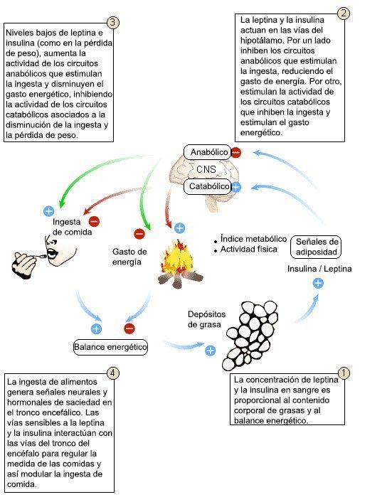 metabolismo ingesta   Anatomía y fisiología   Pinterest ...