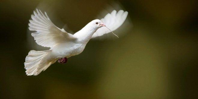 Download 97+ Gambar Burung Merpati Putih Terbaik Gratis