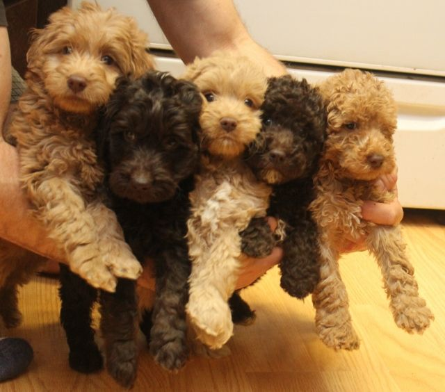 Check Out Http Australianlabradoodle Puppies Com Multigenerational Australian Labradoodle Puppies Avai Australian Labradoodle Labradoodle Labradoodle Puppy