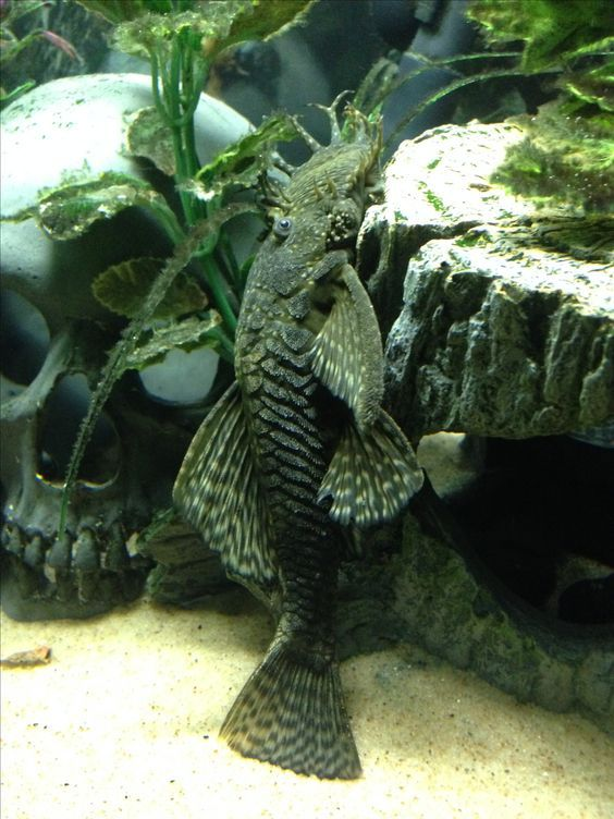 Sucker Fish Often Termed As The Pleco Or Plec The Suckerfish Could Give A Large Benefit If You Would Add It To Your Aq Aquarium Fish Cool Fish Tropical Fish