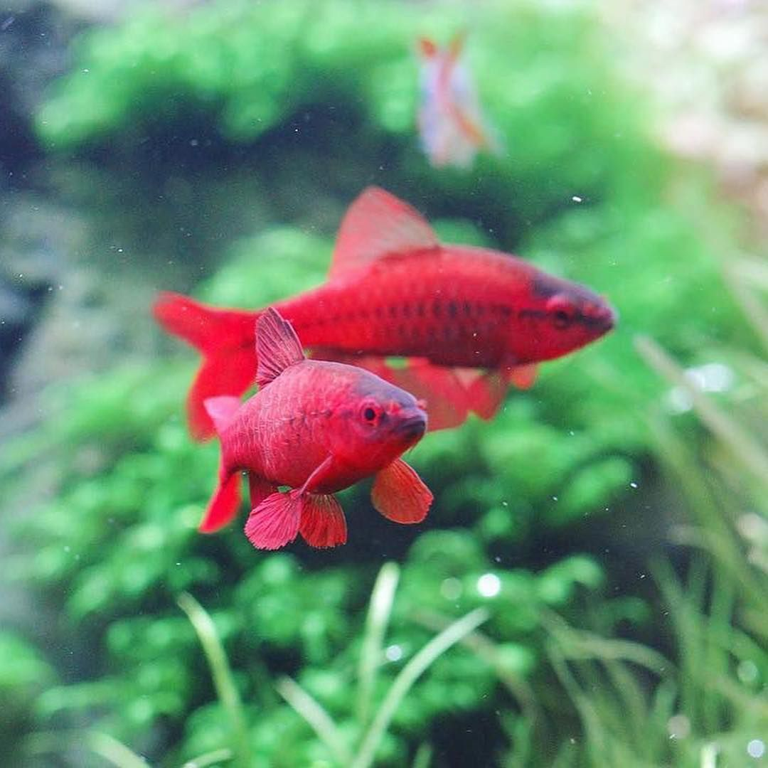 Beautiful Cherry Barbs Fish Aquarium Fish Tropical Fish Aquarium Fish Breeding