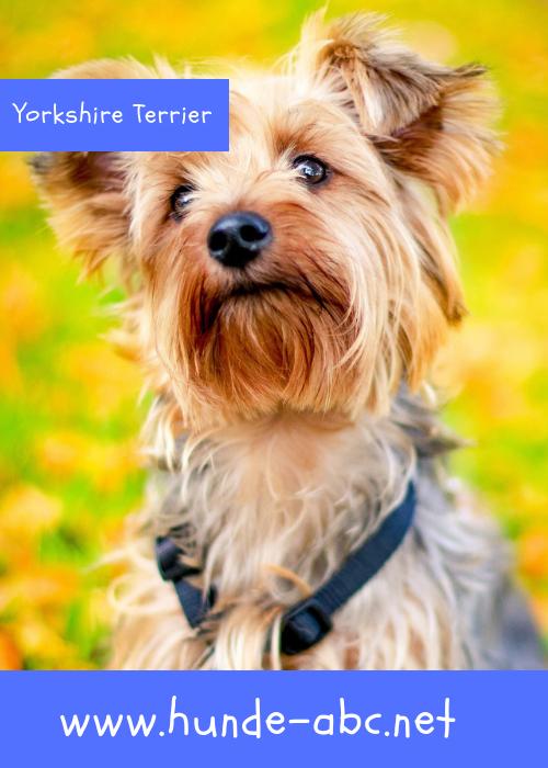 Yorkshire Terrier Yorkshire Terrier Hunderassen Terrierrassen