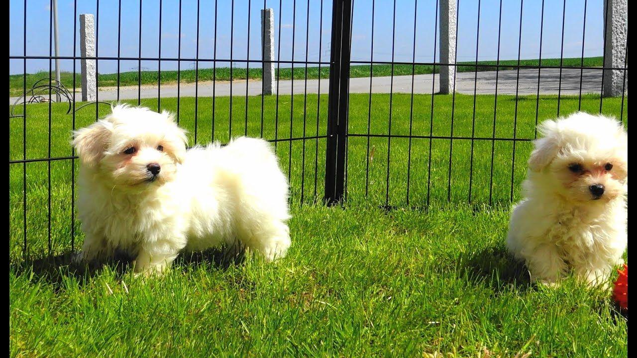 Malteser Welpen Www Welpenvermittlung Hunde At Youtube Teacup Puppies Maltese Maltese Puppy Puppies