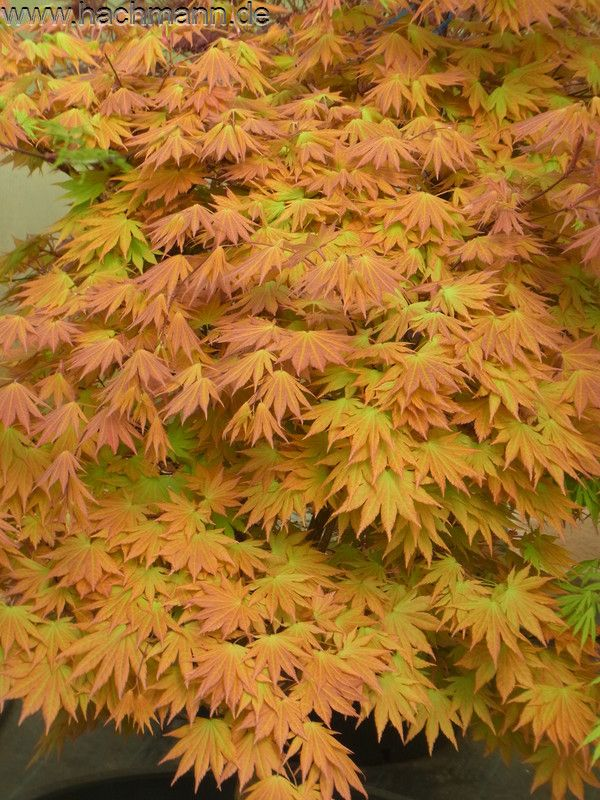 Acer Shirasawanum Autumn Moon Small Trees For Sunset Zone 17