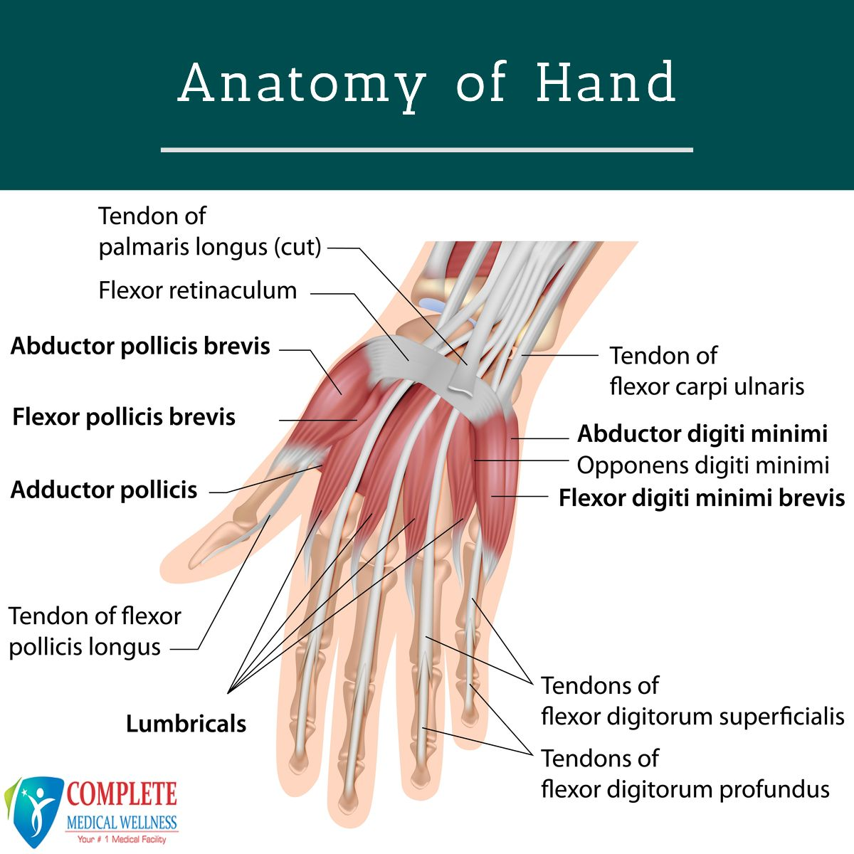 How Do Our Hand Actually Work In 2020 Muscular System Anatomy Muscle